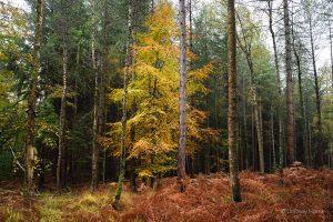 Tree of Gold I, Hampshire, UK