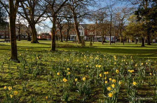 Daffodils at Parkstone Park, Ashley Cross, Lower Parkstone, Poole.