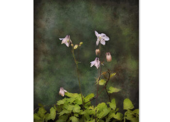 Columbine flower card (Aquilegia vulgaris) – blank greetings card.